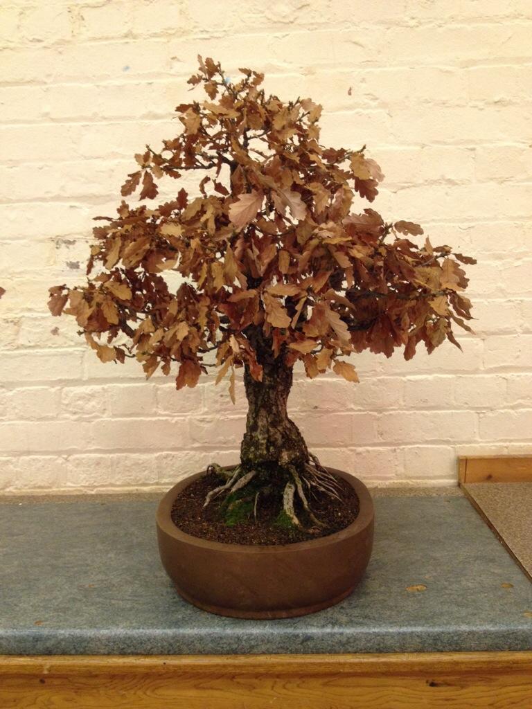 Amazing unique bonsai oak forsale bonsai wales for Unique bonsai trees