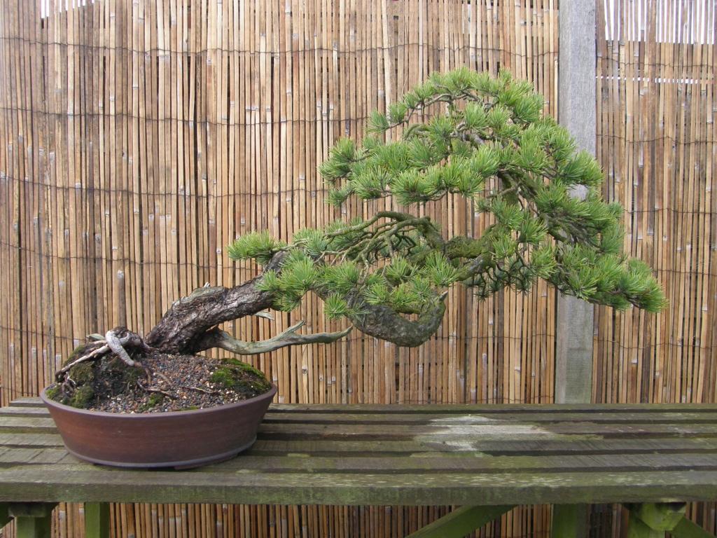 China Mist Bonsai Tree Sale Wales Wiring Yew