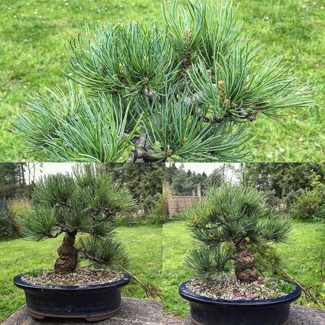 Groovy Loving This Tree Since Its Wire And Styling Shohin Whitepine Wiring Cloud Pendufoxcilixyz
