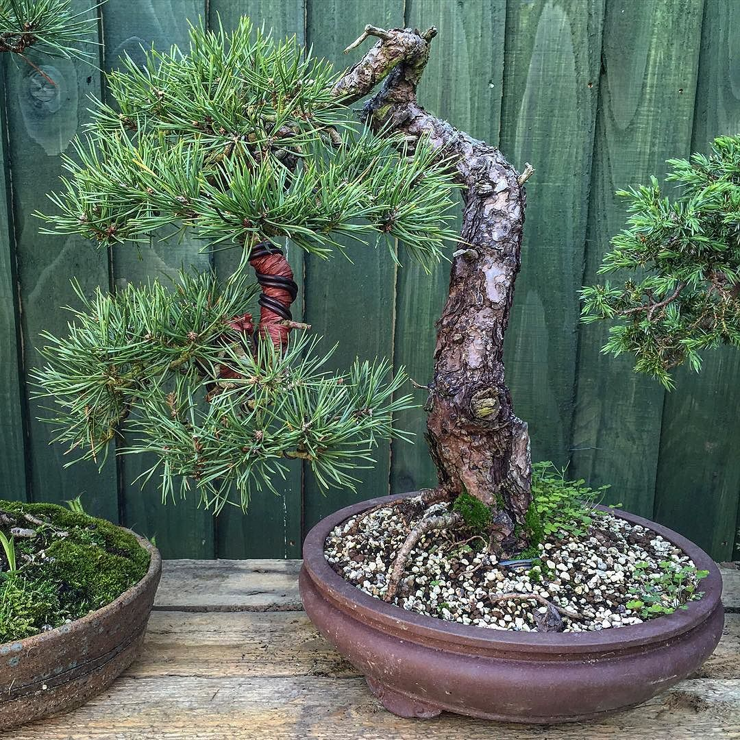 pinus sylvestris bonsai the tree is doing extremely well. Black Bedroom Furniture Sets. Home Design Ideas
